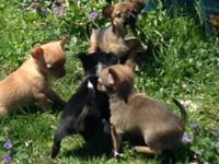 Teacup young puppies. tricolored female black white & &