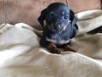 We have 8 week old chihuahua/ dachshund puppies. Shots