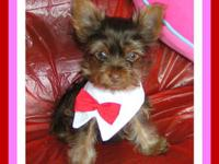 Very Handsome Teacup Male Chocolate Yorkie! Pictured