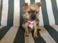 This chorkie is a female puppy. She is really playful