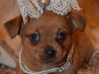 Tiny Martini - - Chorkie Female ( Chihuahua and