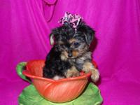 Adorable Teacup Chorkie Puppies. 8 Weeks old, Ready for