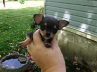I have 3 Teacup Chihuahuas, All are Teacup dimension. I