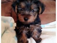 Teacup CKC Yorkie Puppies! Adult size 2 -3 lbs. 2-Males