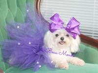 Teacup Female Maltese Gorgeous Baby Doll Face for sale.