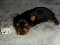 Teacup Yorkie female. ACA registered. She will be 8