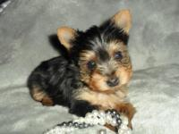 Teacup Yorkie female. ACA registered. Born 9-5, she can