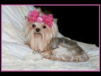 Beautiful and sweet Teacup Female Yorkie for sale to a