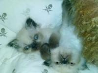 Adorable!! Teacup Himalayan male 8 wks old - he's a