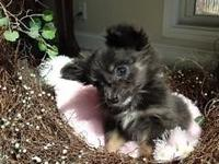 Teacup Long haired blue male with copper markings. Very