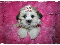 Call Stacey ( for Quality-bred Mal-Shi maltese/shih tzu