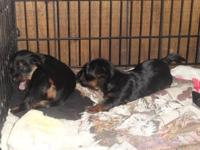 I have a 11 week old male and female yorkie pups for
