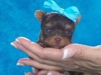 I have a adorable chocolate teacup male that carries