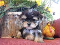 This is Peanut. He is a Teacup Morkie Puppy registered