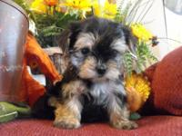 This is Teddy. He is a very tiny Morkie puppy