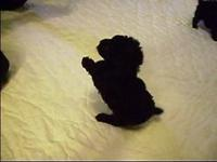 One black teacup Poodle puppy and one parti (black and