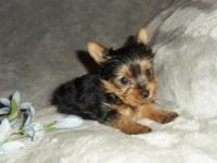 Teacup Yorkie male. ACA registered. Born 9-5, He can go