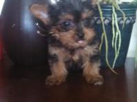 I have 1 male Teacup yorkie looking excellent Home