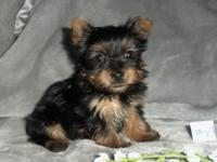 ACA registered Tea cup Yorkie Male Puppies. Born