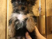 I have a male teacup yorkie puppy that is ready for his