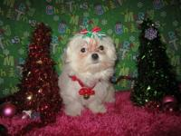 I have Teacup Maltese Female Parents are registered