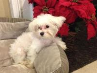 Small cute Maltese, healthy, friendly and doing well on