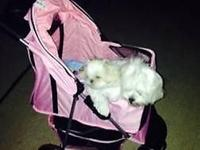 Gorgeous Snow White Teacup Maltese Last female 3.5