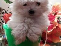 Tiny Teacup Maltese, she is pure white at 11wks old and