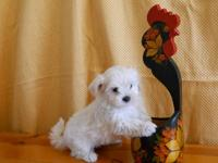 THESE MALTESE BOYS ARE SO-O-O CUTE! They have a white