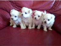 gorgeous teacup maltese puppies males and females