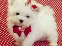 Teacup Maltese Puppies for rehoming.My cute Pure breed