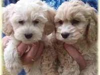 Teacup maltipoo puppies !! They are extremely small and