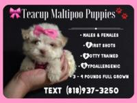Super Adorable Maltipoo Puppies  Yes those are the