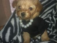 Teacup/Micro Champion colored Female Yorkie-poo for