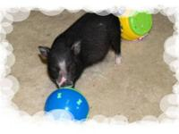 TEACUP Mini/Micro Pot Belly PigLETS $350 Breed: Teacup