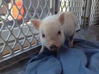 Animal Type: Mini Pigs We have a Male Micro Piglet for