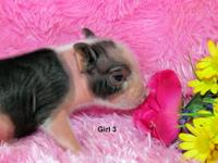 Teacup Mini Piglets born September 9, 2012. 4 females