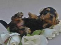 "I have a female ""teacup"" Morkie. I say ""teacup"" with"