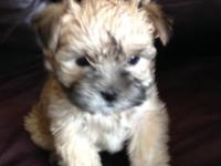 Morkie Puppies born 2/5 and 2/6 2015. AKC dame Maltese