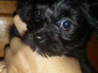 I have a 7 month old black teacup morkie. She weighs 1