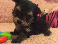 I have a beautiful Morkie girl... Maltese/Yorkie. She