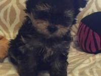 This is such a stunning Morkie girl... Maltese/Yorkie.
