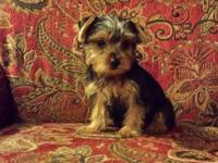 Sofie is an adorable first generation morkie. She will