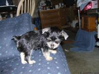 : I have a litter of tiny Morkie puppies. the father of