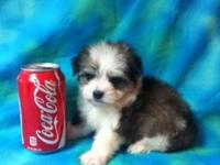 I have Teacup Morkie puppies readily available. I have