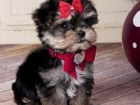 Adorable teacup maltese and yorkie mix pups, a.k.a.