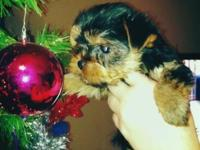 Morkie's born on October 1, 2015. Sire is AKC Teacup