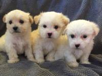 Male and female teacup Maltese and Yorkie mixed