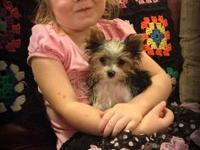 Teacup Male Parti Yorkie, bubbles, weighing only 2 lbs,