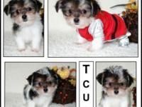 "Teacup Yorkie + Shih Tzu=""Shorkie"" Designer Puppies"